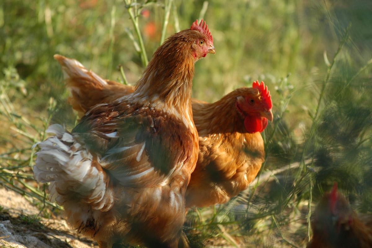 Pollo Contadino Cadoro, una promessa mantenuta